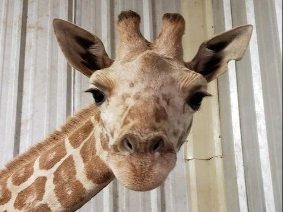 April the giraffe at the East Texas Zoo and Gator Park ((East Texas Zoo and Gator Park))