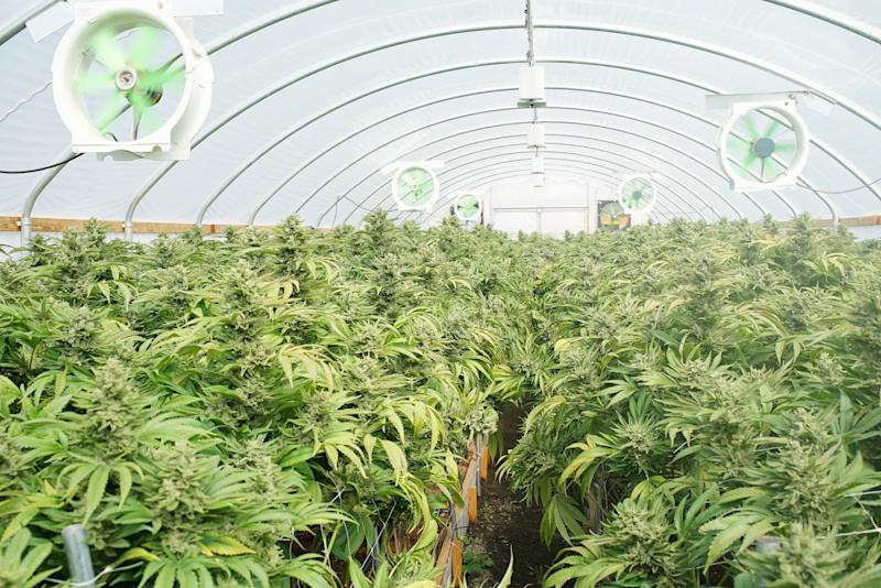 A hybrid cannabis-growing greenhouse with fans and flowering marijuana plants.