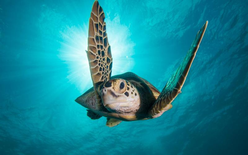 A green turtle off Borneo in Blue Planet II - WARNING: Use of this copyright image is subject to the terms of use of BBC Pictures' Digital Picture