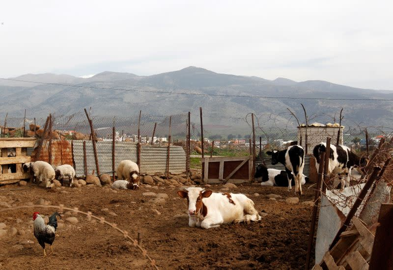 Herds of cattle are pictured in the village of Wazzani