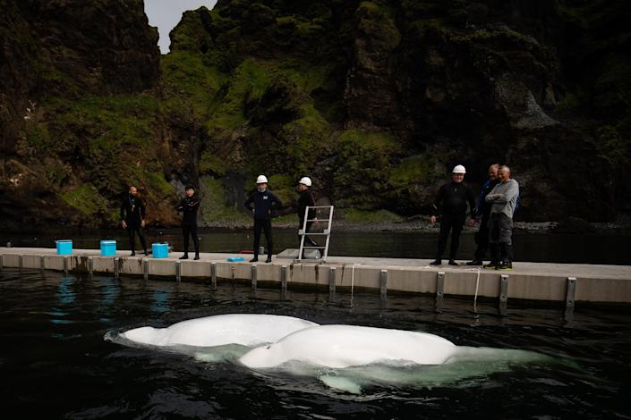 The whales will need time to acclimatise to their new natural environment before their final release into the wider sanctuary. (PA)
