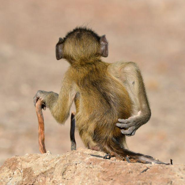 """""""Socially Uninhibited"""" features a chacma baboon in River Chobe, Botswana."""