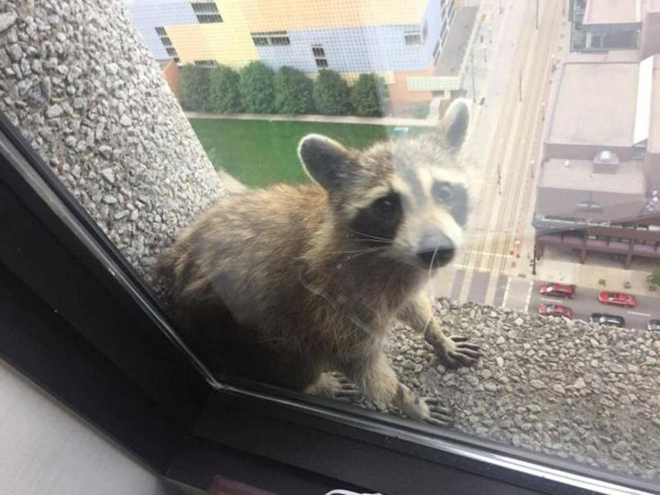 A raccoon sits on a window sill of the UBS Plaza building in St Paul, Minnesota (Paige Donnelly Law Firm/via REUTERS)