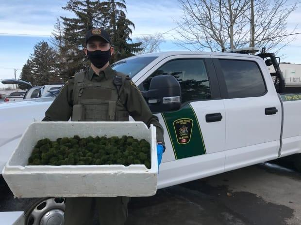 The Alberta government says it needs people who bought moss balls since Jan. 1 to destroy them since they may contain live zebra mussels, an invasive species. (Government of Alberta - image credit)