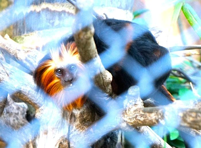 Golden headed lion tamarin: This species endemic to Brazil is close to extinction. (
