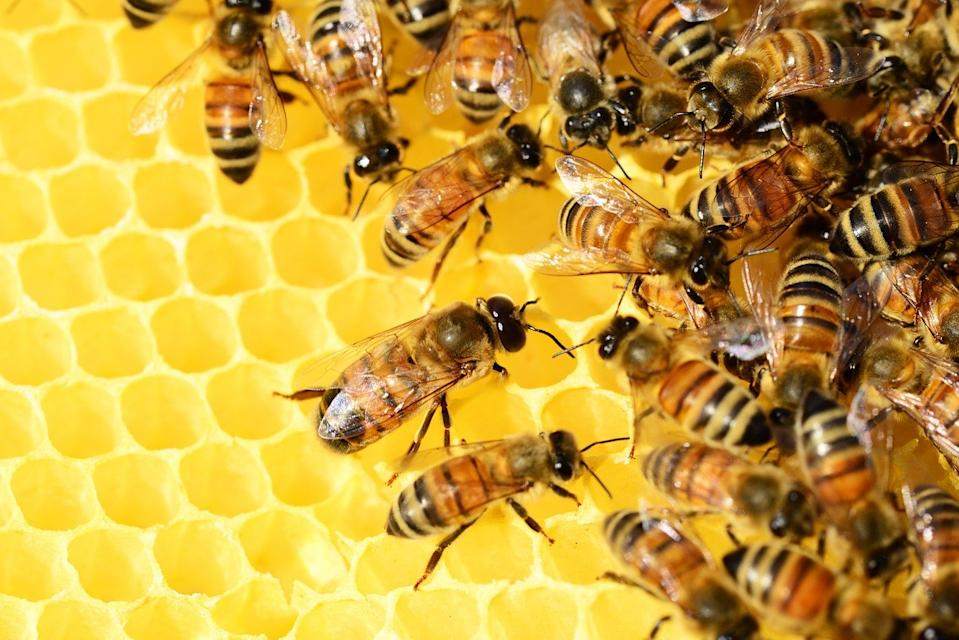 Honey is composed of 17%-20% water, 76%-80% glucose, and fructose, pollen, wax and mineral salts. Its composition and colour are dependent upon the type of flower that supplies the nectar