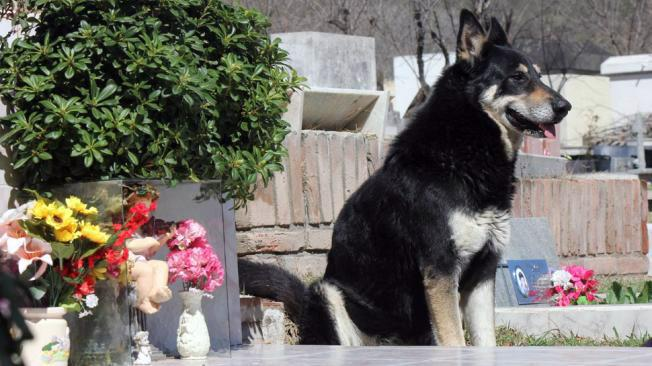 Capitan, a very loyal German shepherd, continued to stand guard at the grave of his owner six years after the owner passed away. Amazingly, the dog wasn't aware of the cemetery prior to his owner's death. (La Voz)