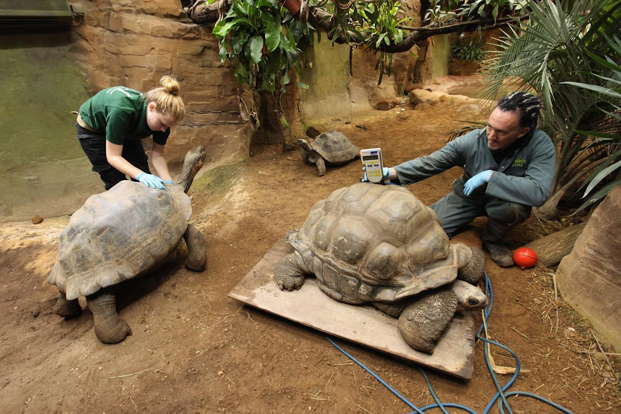 LONDON, ENGLAND - AUGUST 25:  Zookeeper Sebastian Grant (R) weighs Dirk, a giant Galapagos tortoise, at ZSL London Zoo as part of their annual weighing and measuring of their animals on August 25, 2011 in London, England. The heights and weights of over 750 different animal species at the zoo are recorded into the International Species Information System, to monitor their health and share the data with other zoos across the world.  (Photo by Oli Scarff/Getty Images)