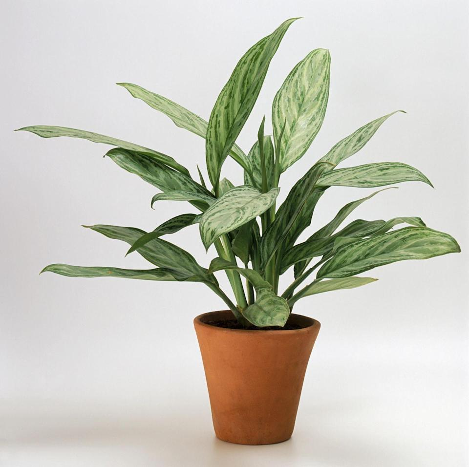 """<p>Since this plant is one of the <a href=""""http://www.gardeningknowhow.com/houseplants/chinese-evergreen/chinese-evergreen-plants.htm"""" rel=""""nofollow noopener"""" target=""""_blank"""" data-ylk=""""slk:most durable indoor plants"""" class=""""link rapid-noclick-resp"""">most durable indoor plants</a> (it does quite well in low light) and only needs to be fertilized once or twice a year, it's ideal for beginner gardeners.</p>"""