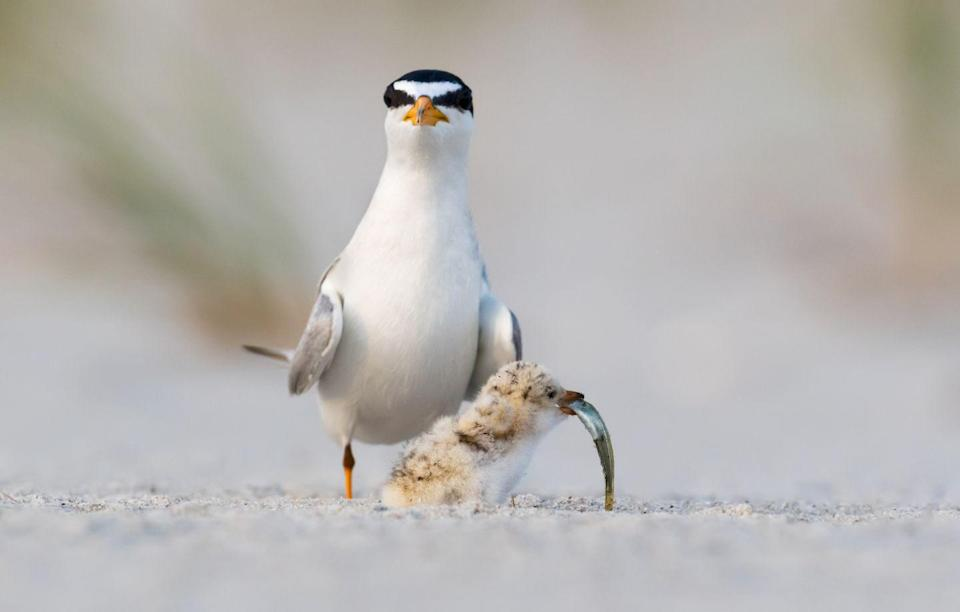 <p><strong>Least Tern - </strong>Located near the salt flats of lakes along the Missouri River System, the Least Tern's decline is the result of habitat loss and disruption. </p>
