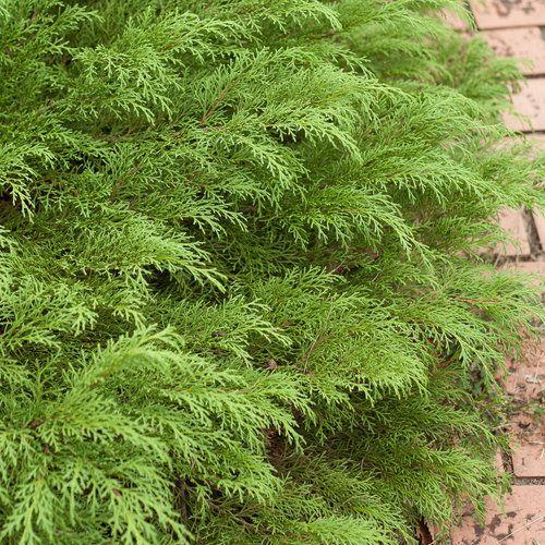 "<p>Hailing all the way from Siberia, this cold-hardy evergreen has fern-like foliage that turns a pretty bronzy color in colder climates. Try to plant it in large groupings on a hillside or along the house's foundation to prevent erosion. It likes full sun.</p><p><a class=""link rapid-noclick-resp"" href=""https://go.redirectingat.com?id=74968X1596630&url=https%3A%2F%2Fwww.homedepot.com%2Fp%2F2-25-Gal-Gold-Mop-Cypress-Shrub-with-Golden-Foliage-14815%2F312949561&sref=https%3A%2F%2Fwww.goodhousekeeping.com%2Fhome%2Fgardening%2Fg32440508%2Fbest-ground-cover-plants%2F"" rel=""nofollow noopener"" target=""_blank"" data-ylk=""slk:SHOP NOW"">SHOP NOW</a></p>"