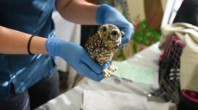 A burrowing owl is treated for a suspected injured wing at the South Florida Wildlife Center in Fort Lauderdale.