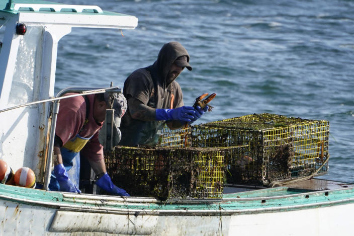 FILE- In this Sept. 21, 2020 file photo, a sternman checks a lobster while fishing off South Portland, Maine. The Maine Department of Marine Resources said Wednesday fishermen caught more than 96 million pounds of lobsters in 2020. (AP Photo/Robert F. Bukaty, File)