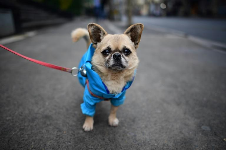 Poodles in pink dresses, Pekinese wearing shirts, a Pomeranian in sneakers and a raincoat -- the sidewalks of Shanghai can sometimes seem like catwalks gone to the dogs