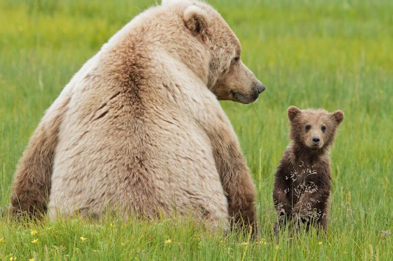 Grizzly Bears (Ursus arctos horriblis)