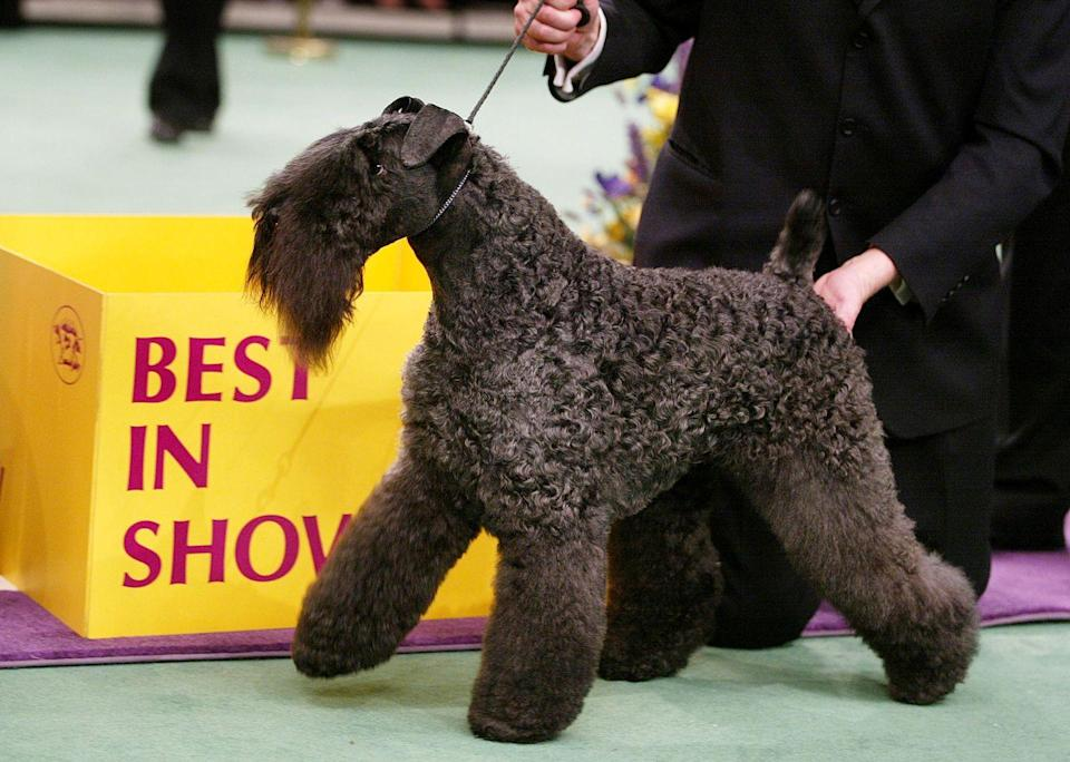 <p>Mick, a Kerry blue terrier, is ready to strut his stuff after taking the top title. Good boy!</p>