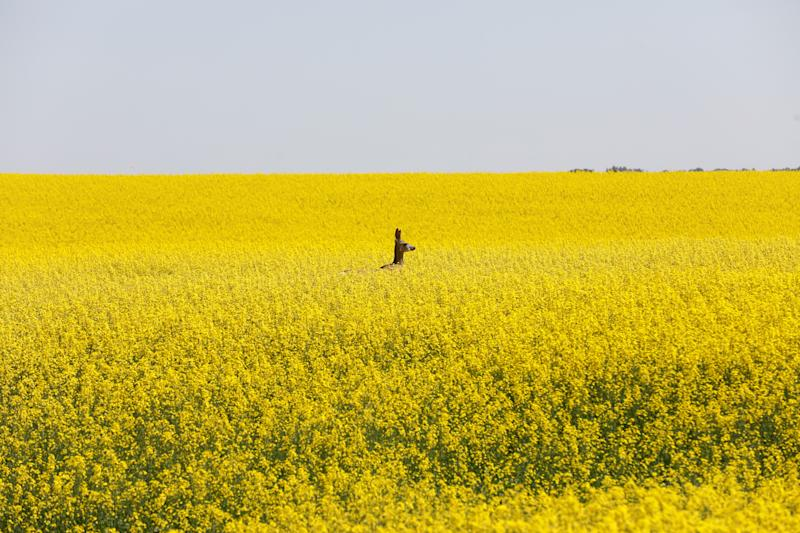 A deer feeds in a western Canadian canola field that is in full bloom before it will be harvested later this summer in rural Alberta, Canada July 23, 2019. REUTERS/Todd Korol