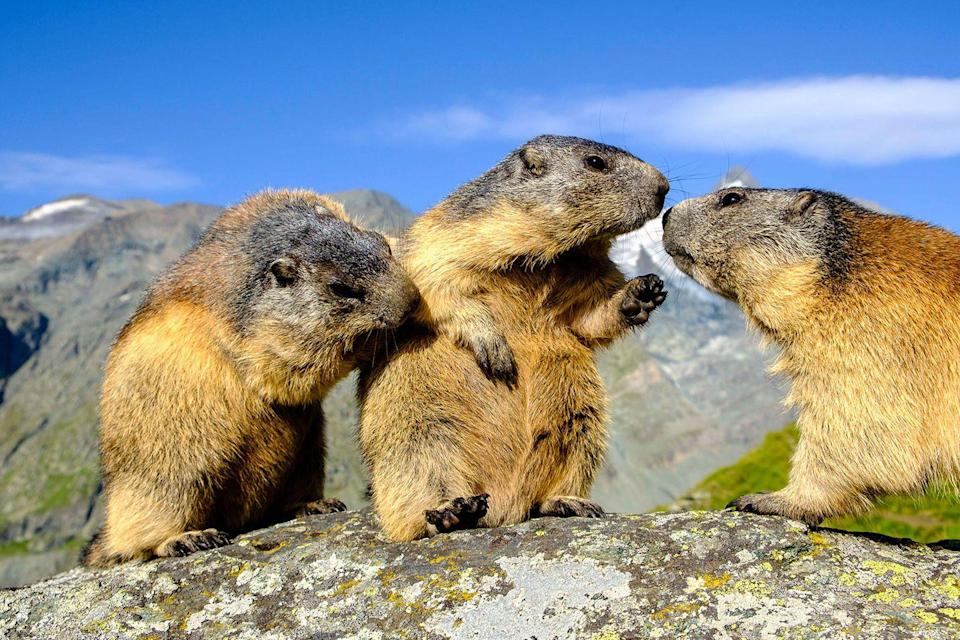 <p>These marmots look like they're sharing the juiciest piece of gossip that's going to rock the marmot world.</p>