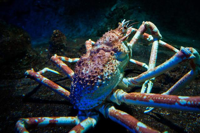 King crabs may be poised to conquer the Antarctic as a result of global warming