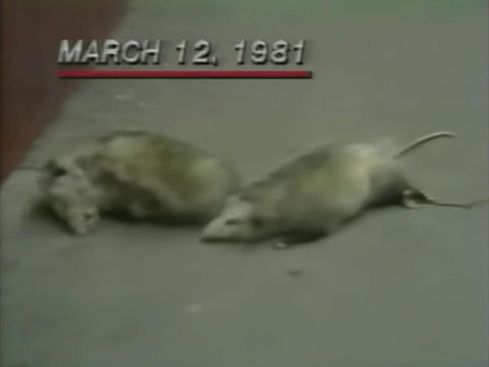 "Two white Portland police officers were fired after placing dead possum bodies outside of a Black-owned Portland business in 1981. <p class=""copyright""><a href=""https://www.youtube.com/watch?v=54v5GW5h_rk&t=118s"" rel=""nofollow noopener"" target=""_blank"" data-ylk=""slk:YouTube/mungen"" class=""link rapid-noclick-resp"">YouTube/mungen</a></p>"