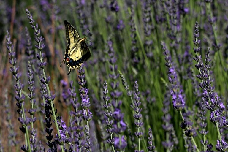 A butterfly flies over lavender plants at a botanical park near the Cypriot beach resort of Ayia Napa