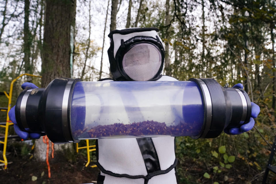 Sven Spichiger, Washington State Department of Agriculture managing entomologist, displays a canister of Asian giant hornets vacuumed from a nest in a tree behind him Saturday, Oct. 24, 2020, in Blaine, Wash. Scientists in Washington state discovered the first nest earlier in the week of so-called murder hornets in the United States and worked to wipe it out Saturday morning to protect native honeybees. Workers with the state Agriculture Department spent weeks searching, trapping and using dental floss to tie tracking devices to Asian giant hornets, which can deliver painful stings to people and spit venom but are the biggest threat to honeybees that farmers depend on to pollinate crops. (AP Photo/Elaine Thompson)