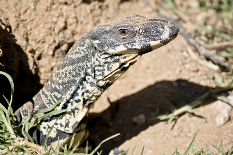 Lace monitors are among the wildlife who have survived the bushfires but are now desperate for food. Source: Getty