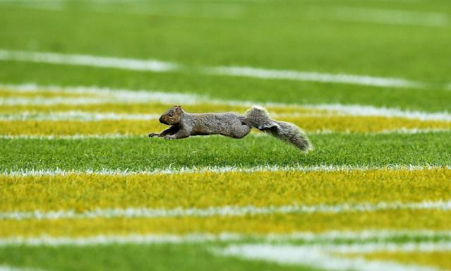<p>A squirrel runs across the field during the game between the Green Bay Packers and the Indianapolis Colts at Lambeau Field on November 6, 2016 in Green Bay, Wisconsin. (Photo by Dylan Buell/Getty Images) </p>