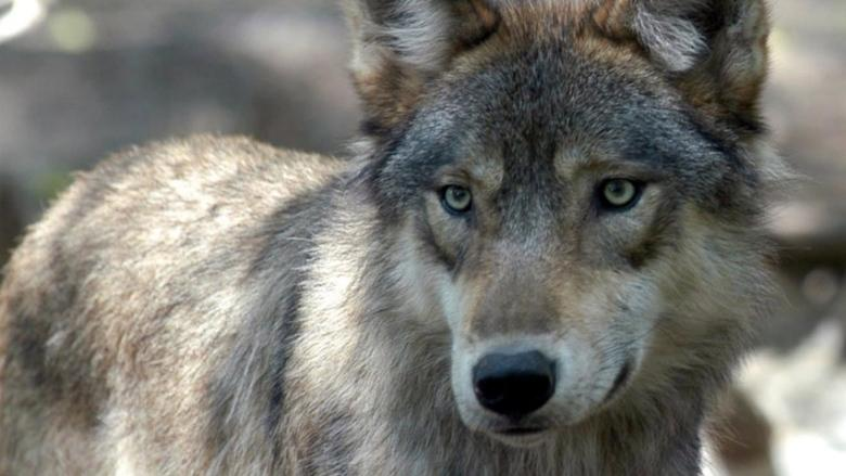 Sorry, beaver: Wolf leads the pack in Calgary Zoo's Greatest Animal contest