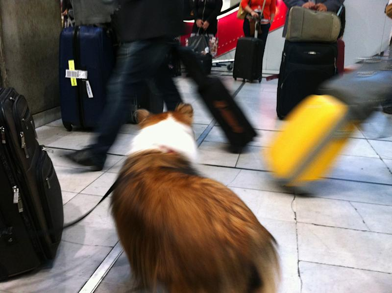"In this Sept. 21, 2012 photo provided by Sheron Long, Chula, a 30-pound Shetland sheepdog and veteran traveler, walks on a leash in the lobby of the TGV station at the Charles de Gaulle Airport in Paris, France. Travel for humans during holidays is tough enough: Long lines, crowds everywhere, extra bags full of presents. Throw a pet in the mix, and it's a recipe for disaster. Long is the author of ""Dog Trots Globe - To Paris and Provence."" (AP Photo/Courtesy Sheron Long)"