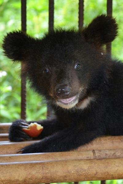 Across Asia thousands of Asiatic black bears are kept in cages as pets and used to extract bile from their gall bladders for traditional medicine (AFP Photo/Handout)