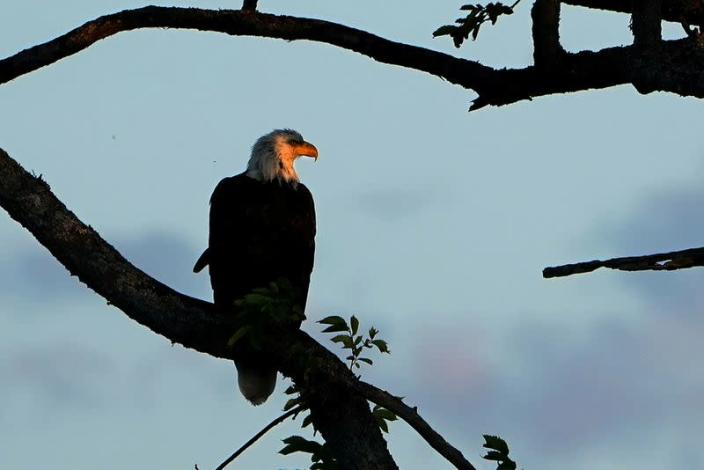 FILE PHOTO: A bald eagle is pictured perched in a tree in Baddeck