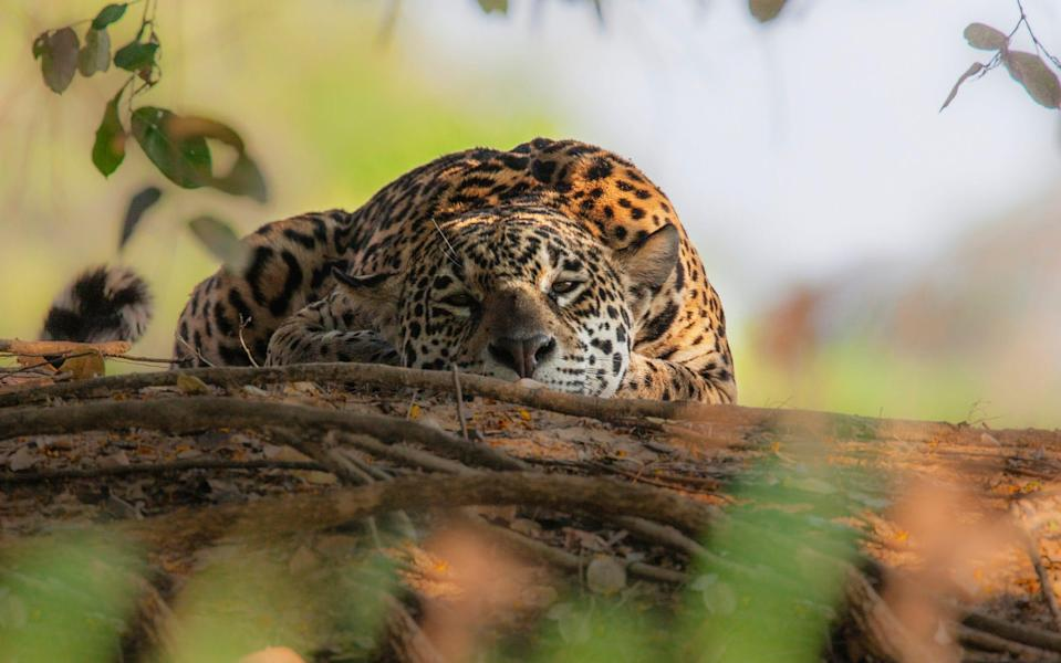A jaguar in the Pantanal - Getty