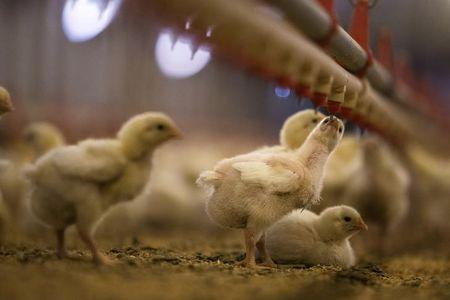 Nine-day-old chicks drink water at a Foster Farms ranch near Turlock