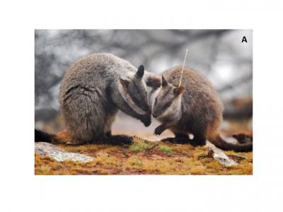 Captive-Bred Wallabies May Spread Antibiotic Resistance