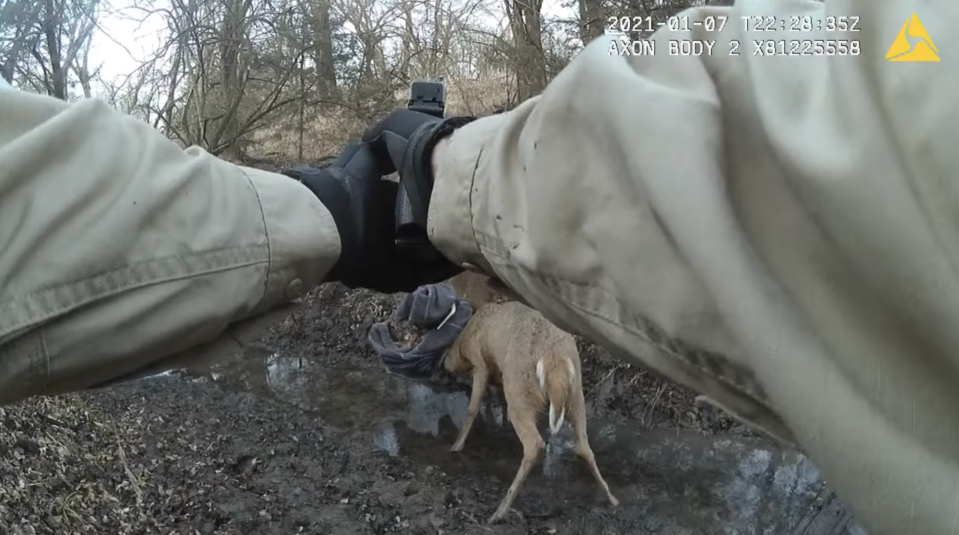A game warden draws his gun at two whitetail deer bucks stuck to each other.