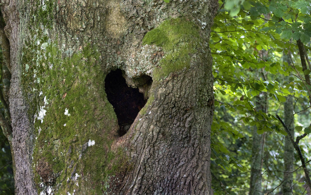 PIC FROM ZSUZSANNA BIRD/ CATERS NEWS - (PICTURED A heart shaped hole in a tree) With Valentines Day just around the corner its the time of year when love is in the air but as these pictures prove - its all over the earth too. These extraordinary images, taken by photographers across the globe, show Mother Nature is also gearing up to celebrate the big day with iconic heart shapes appearing all over the natural world. The charming pictures capture Mother Natures romantic side and feature several signs of love including an adorable fluffy penguin with a white heart emblazoned on its chest. Other natural displays include a flamingo creating a heart shape with its white and pink plumage and two swans which appear to kiss as they form a heart shape with their necks. SEE CATERS COPY