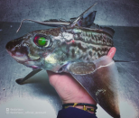 <p>This fish is clearly jealous of his other fishy pals with those green eyes (CEN) </p>
