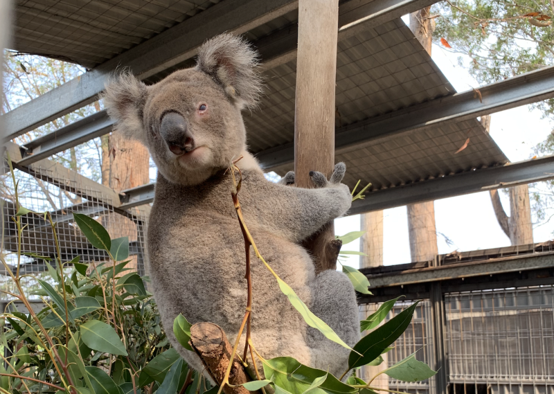 A large koala in care clings to a pole. It's eyes are red from chlamydia. It has leaves to eat and an iron roof over its head. Gum trees can be seen in the distance.