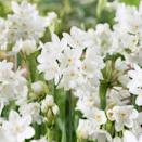 <p>This <span>Paperwhite Narcissus Inbal</span> ($26) plant can produce a number of small, white flowers on multiple stems growing up to 18 inches tall in just a few weeks if kept in a cool location.</p>