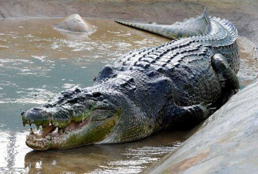 Saltwater crocodile Lolong weighs more than a tonne and is suspected of killing two people in the Philippines