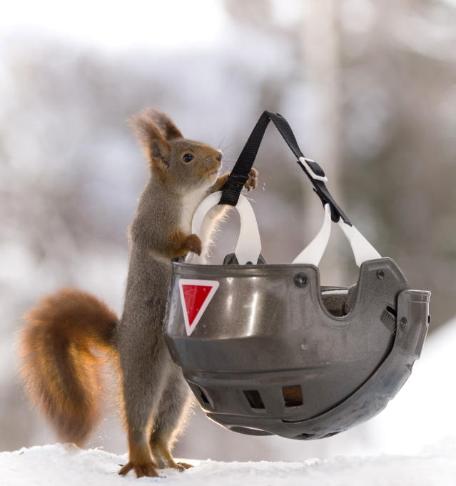 <p>This curious squirrel clung to a helmet. (Photo: Geert Weggen/Caters News) </p>
