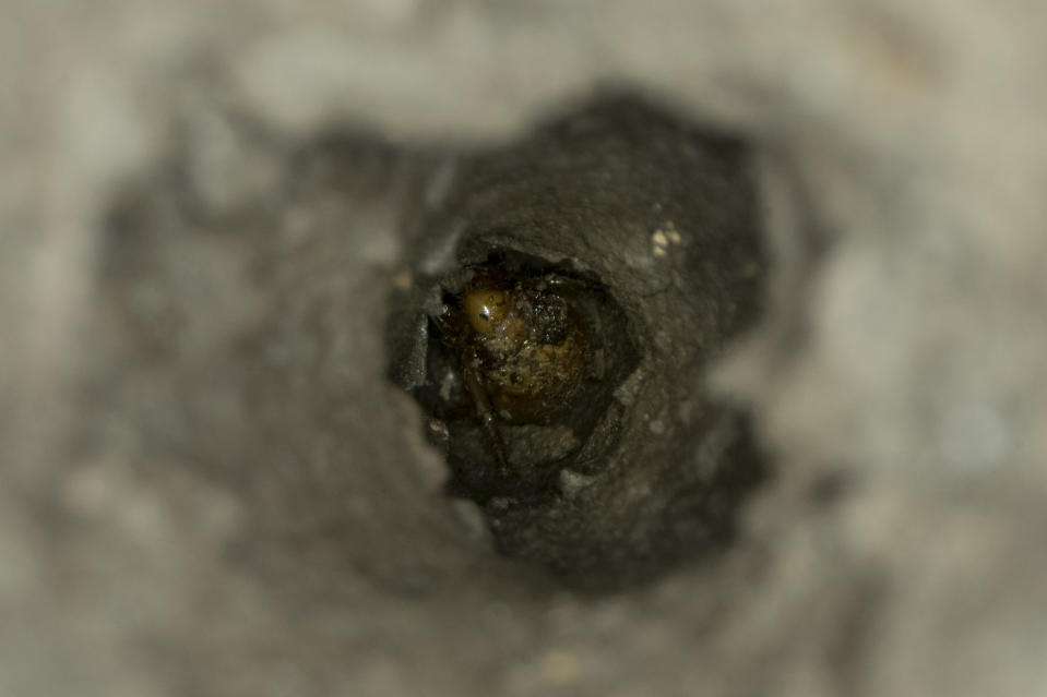 A cicada nymph is seen at the bottom of an evacuation tunnel, Sunday, May 2, 2021, in Frederick, Md. (AP Photo/Carolyn Kaster)