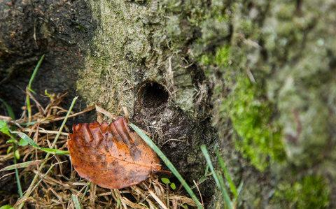 Holes had been drilled in the roots and trunk and the concealed - Credit: Tony Buckingham
