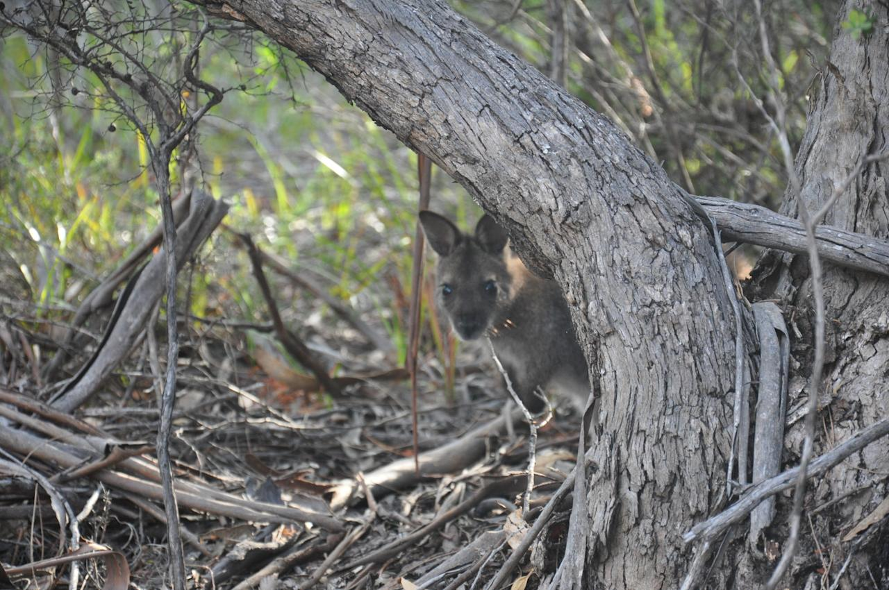Besides the ever-popular Tasmanian Devil, Tasmania is also home to a wide array of wildlife, like the wallaby pictured here. By the way, did you know that Tassie was once known as Van Diemen's Land? There's actually a U2 song about it. Check it out if you have the time.