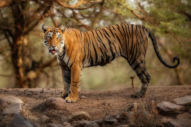 Tiger Hair Used for Genome Sequencing Sheds Light on Two New Matrilineages in Ranthambore
