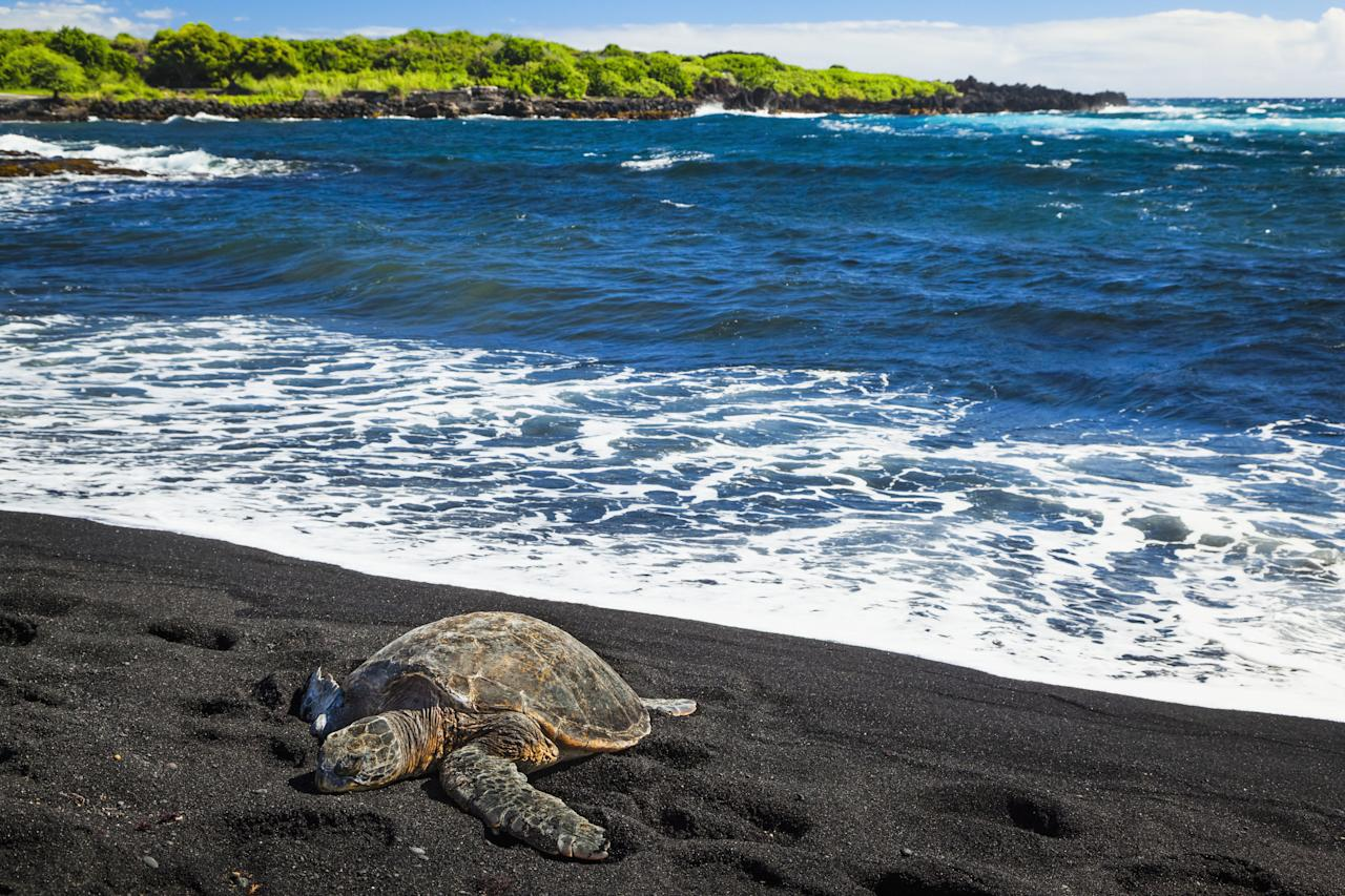 """<p>With coconut groves and nesting sea turtles, <a rel=""""nofollow"""" href=""""https://www.tripadvisor.com/Attraction_Review-g29217-d109631-Reviews-Punalu_u_Black_Sand_Beach_Park-Island_of_Hawaii_Hawaii.html"""">Punalu'u</a> has earned a reputation as one of the Big Island's best beaches. It's also the beach you're most likely to think of when you hear the words """"black sand."""" </p>"""