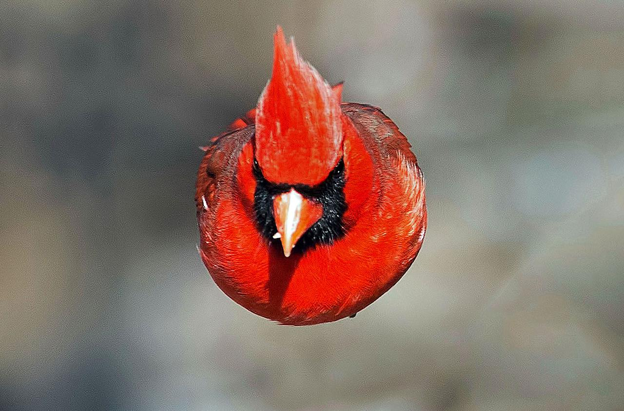 <p>A Northern Cardinal that looks like a real life angry bird in Audubon, New Jersey. (Photo: Brian E. Kushner/Caters News) </p>