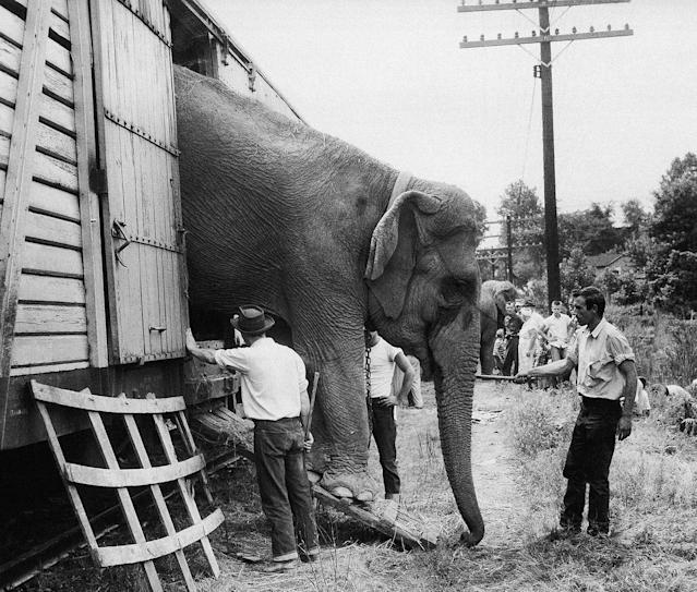 """<p>A circus hand guides a big elephant down the ramp as the Ringling Bros. and Barnum & Bailey Circus arrives in Pittsburgh on July 16, 1956, before the announcement that the show will be last """"under the Big Top."""" Youngsters watch in background. (AP Photo) </p>"""