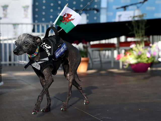 <p>A Chinese crested dog named Chase walks on stage during the 2017 World's Ugliest Dog contest at the Sonoma-Marin Fair on June 23, 2017 in Petaluma, Calif. (Photo: Justin Sullivan/Getty Images) </p>